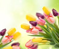 Spring tulips on blue stock images