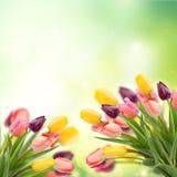 Spring tulips on blue stock photos