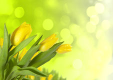 Spring tulips on blur background Royalty Free Stock Image