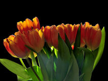 Spring tulips bouquet with backlight of sunrays Royalty Free Stock Images