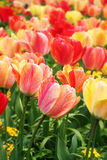 Spring tulips close-up. Bright, colorful spring tulips close up. Shallow DOF Royalty Free Stock Image