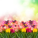 Spring tulips on colofful bokeh Royalty Free Stock Photo