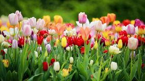 Spring tulips colorful field. Nature stock footage