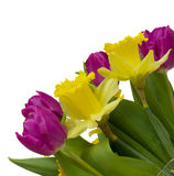 Spring tulips and daffodils. Purple tulips and yellow daffodils close up isolated on white background Stock Image