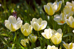 Spring tulips an early morning Royalty Free Stock Image