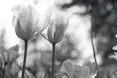 Spring tulips in the park, black and white royalty free stock images