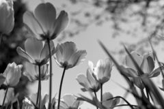 Spring tulips in the park, black and white stock photo
