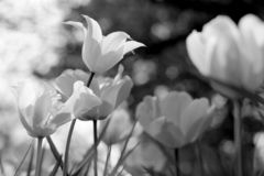 Spring tulips in the park, black and white stock image