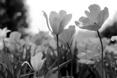 Spring tulips in the park, black and white stock photography