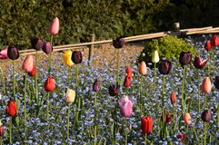 Spring tulips in a English country garden. Stock Image