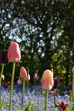 Spring tulips in a English country garden. Stock Photo