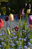 Spring tulips in a English country garden. Royalty Free Stock Photography