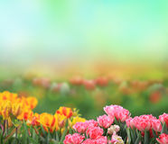 Spring tulips field Royalty Free Stock Photo