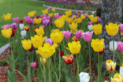 Spring tulips. Floral bed of colorful vibrant spring tulips Stock Photography