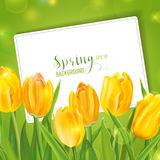 Spring Tulips Flower Background. With Card for your Text - in vector Royalty Free Stock Images
