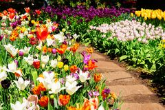 Spring Tulips Flowerbeds stock photography