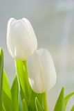 Spring tulips flowers Royalty Free Stock Photos