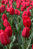 Spring tulips, flowers background Stock Photography