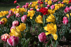 Spring tulips, flowers background stock photo