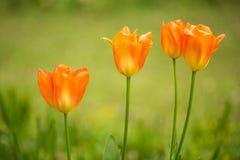 Spring Tulips. Tulips spring flowers in springtime stock photos