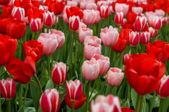Spring tulips in full bloom in the Park. Tulips in full bloom in the city of spring Park Royalty Free Stock Images
