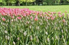 Spring tulips in full bloom in the Park. Tulips in full bloom in the city of spring Park Stock Photos