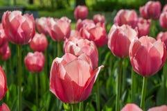 Spring tulips in full bloom in the Park. Stock Photo