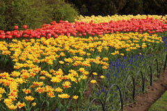 Spring tulips in full bloom Royalty Free Stock Photo