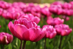Spring tulips in full bloom Stock Photos