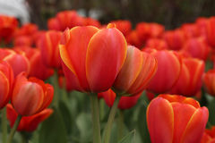 Spring tulips in full bloom Stock Photography
