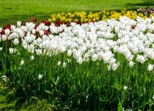 Spring tulips in the garden Stock Photo