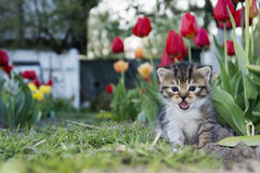 Spring tulips in the garden near the small kitten crying. royalty free stock photo