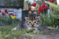 Spring tulips in the garden near the small kitten crying. Stock Photography