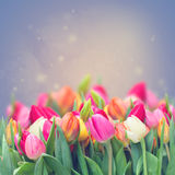 Spring tulips in garden Royalty Free Stock Photo