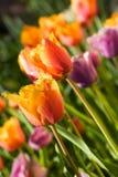Spring tulips, Gavota sp Stock Images