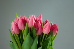 Spring tulips on gray Royalty Free Stock Images