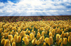Spring Tulips Hillside royalty free stock photo