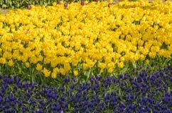 Spring tulips II Stock Photos