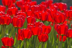 Spring tulips impregnated by the sun Royalty Free Stock Photography