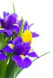 Spring tulips and irises Stock Photos