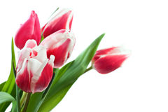 Spring tulips isolated Royalty Free Stock Images