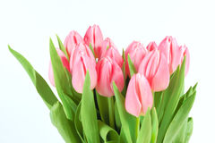 Spring tulips isolated Royalty Free Stock Image