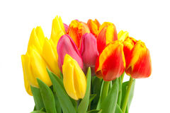 Spring tulips isolated Royalty Free Stock Photo