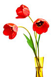 Spring tulips Isolated on white Stock Photos