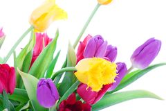 Spring tulips isolated on a white Stock Photo