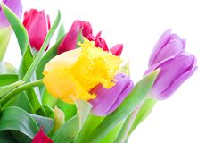 Spring tulips isolated on a white Royalty Free Stock Photo