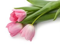 Spring tulips isolated on white background Royalty Free Stock Photos