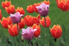 Spring tulips lilac color on a background of red and yellow tulips and green grass stock photos