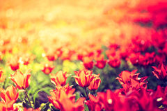 Spring tulips on the meadow under sun rays Stock Photo