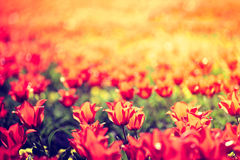 Spring tulips on the meadow under sun rays Royalty Free Stock Image